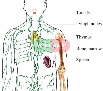 Lymphatic Organs